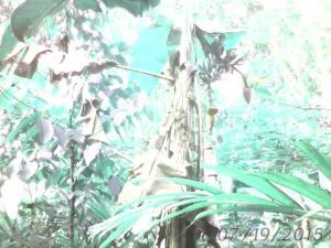 Pohon Pisang Berjantung dua
