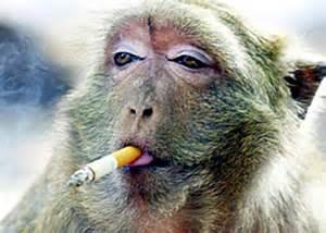 merokok dan monyet